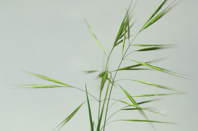 Brome Grass weed occurs mostly in wheat crops.
