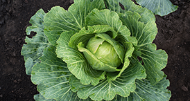 Serenade Prime Crop user guides for brassicas by Bayer