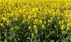 Bayer crop protection products for Canola crops