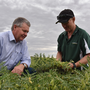 Profitable chickpea crops require attention to detail