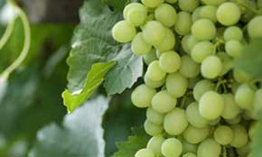 Movento® 240 SC Insecticide for wine grapes in AU