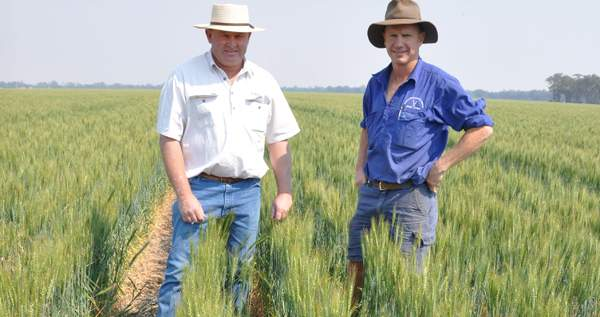 Tom Harvey talks about annual ryegrass removal