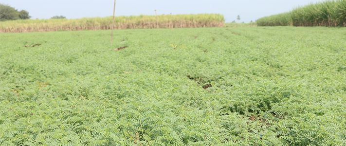 Crop disease management for chickpea crops