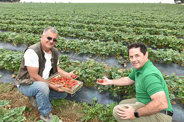 Jim & Darren look over the Albion strawberry crop at Green Valley Strawberries in Hay Valley