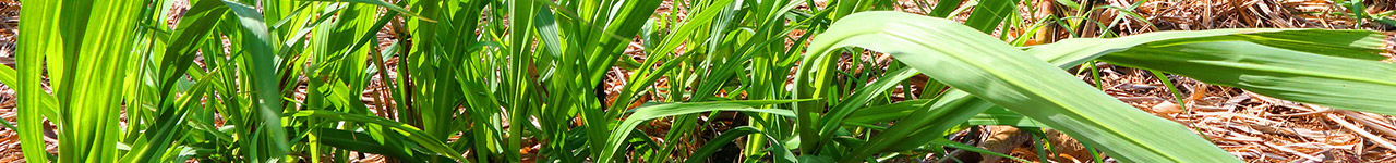 Bayer products for Sugarcane crops growers in AU