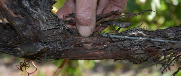 Bayer's Movento insecticide use in winegrapes to control scale, thrips